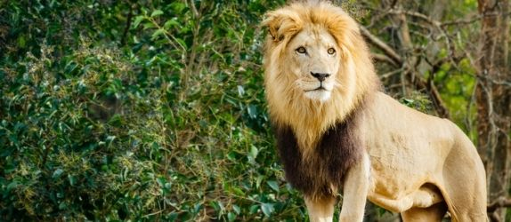 male lion at the atlanta zoo